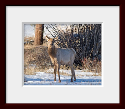 A framed photo of a baby elk.