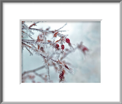 A framed photo of sparkling and frozen, cherry red rose hips dangle like Christmas ornaments from the old red twig rose bush on a frosty winter day.