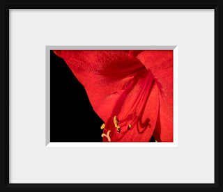 A photo of a brilliant red amaryllis is deeply revealed in intimate detail.