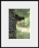 colorado black abert squirrel