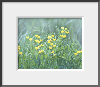 Framed yellow wildflower sweet peas.