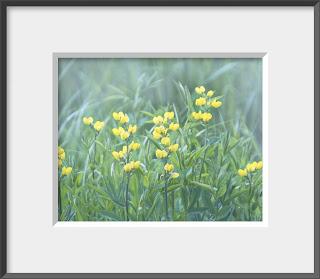Framed yellow wildflower sweet peas.
