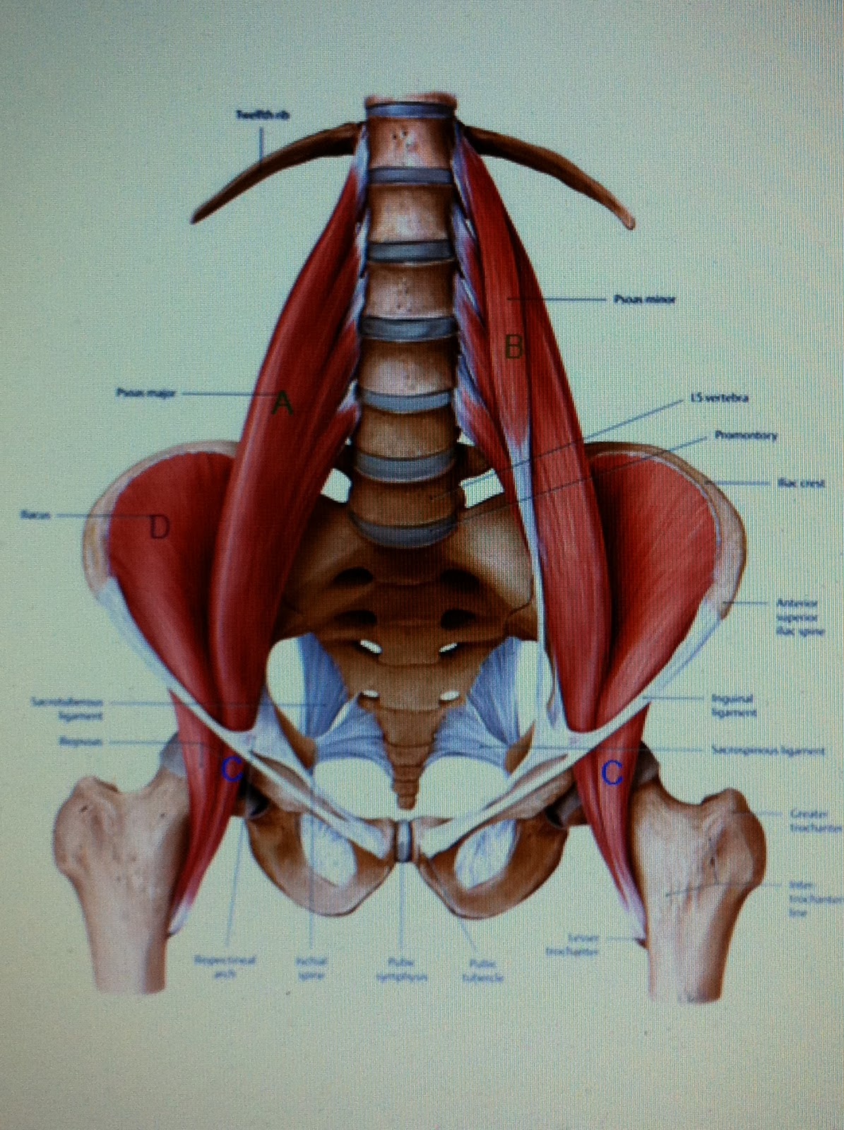 can susceptible hip flexors purpose knee pain