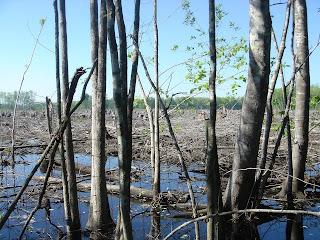 clearcut marshland
