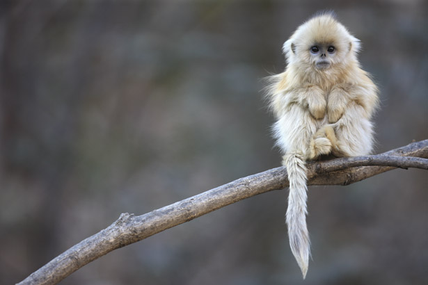 golden-snub-nosed-monkey-615.jpg