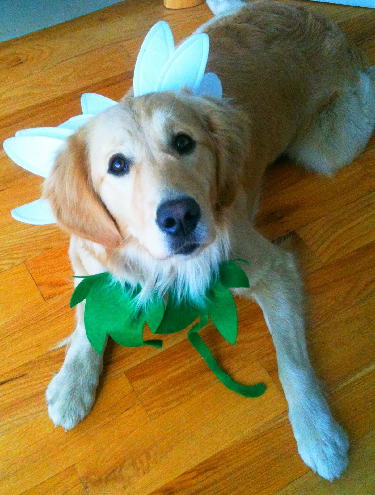 daisy's halloween daisy costume | daisy parker - golden retriever puppy