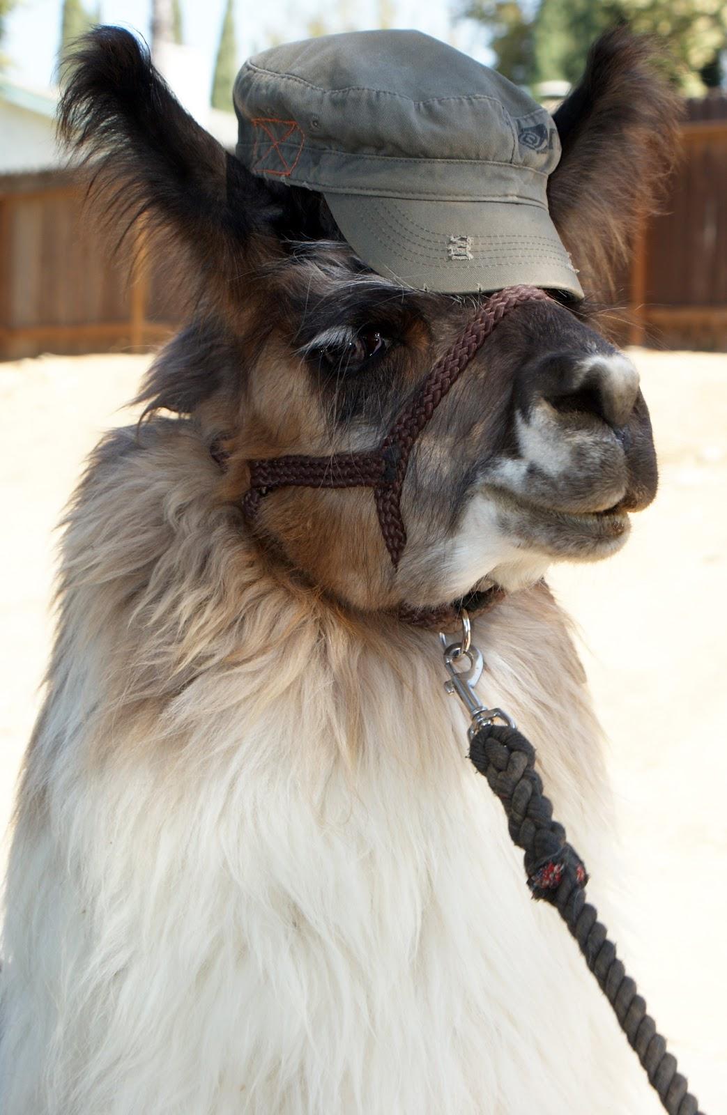 Happy Birthday Bahama Llama