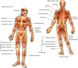 nhs pdhpe: muscular system, Muscles