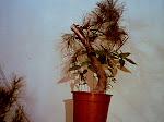 Bonsai pin (3a) (pentru vanzare   muresul1@gmail.com)