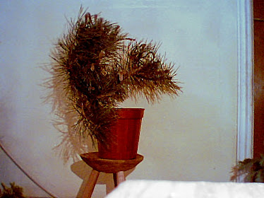 Bonsai pin (1y) (pentru vanzare muresul1@gmail.com)