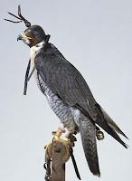 Hoodwinked Falcon