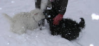 scottish terrier and west highland terrier in snow