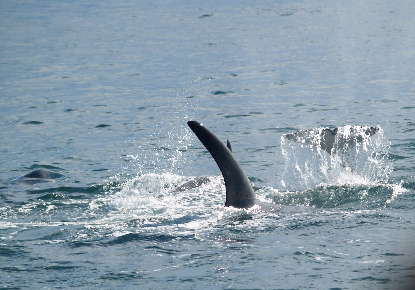 ... MARCH 31, 2010 Fifteen Transient Killer Whales Get Together To Hunt