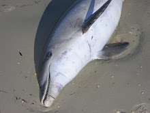Dolphin killed by NC Gill Net
