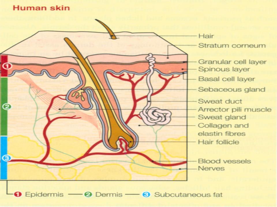 Health Information: SKIN ANATOMY