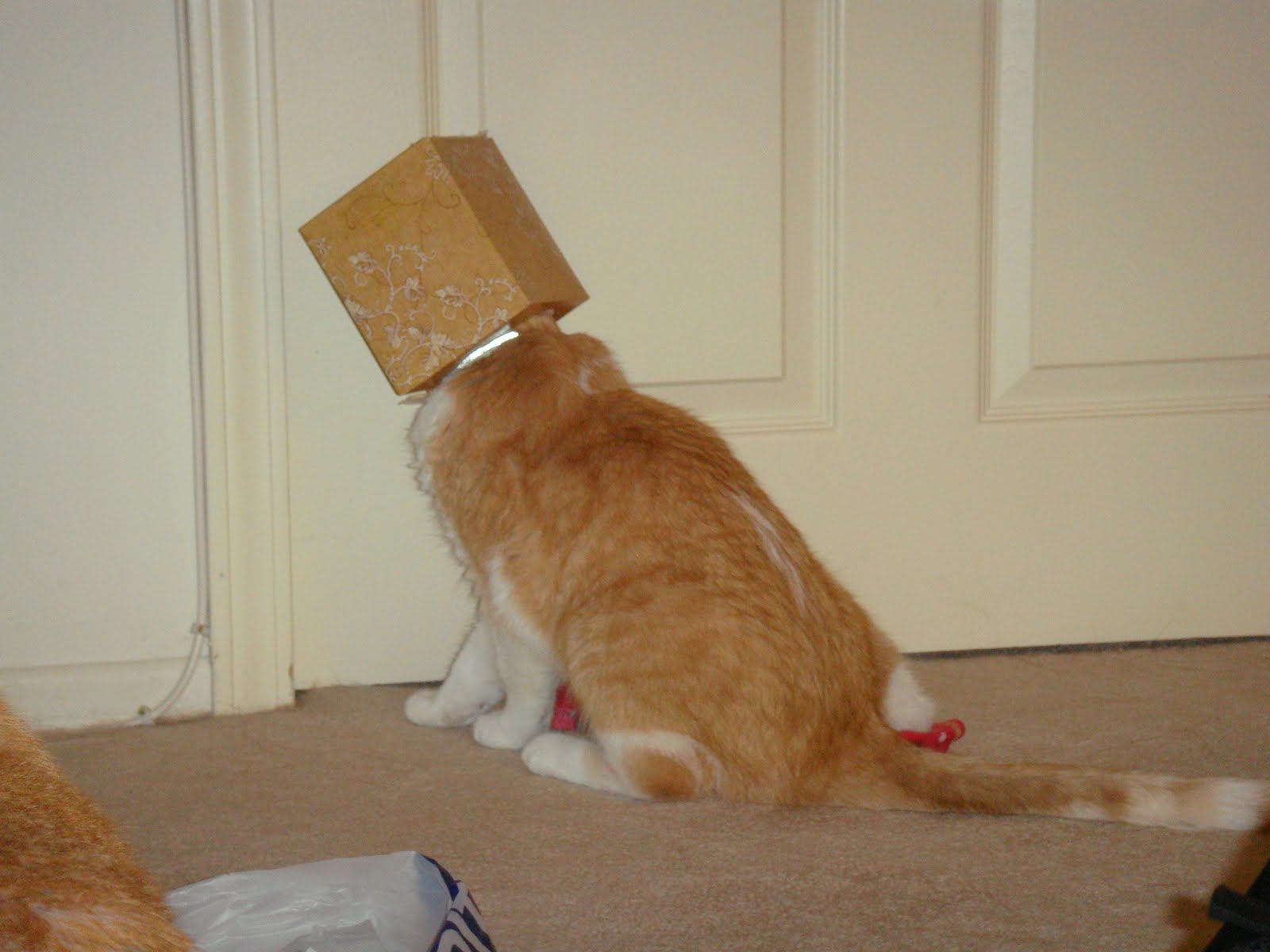 Cat Banging Head Against Wall Gif