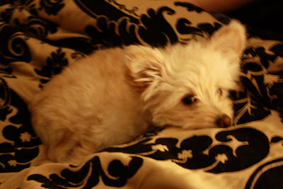 Small Dog Apartment Potty