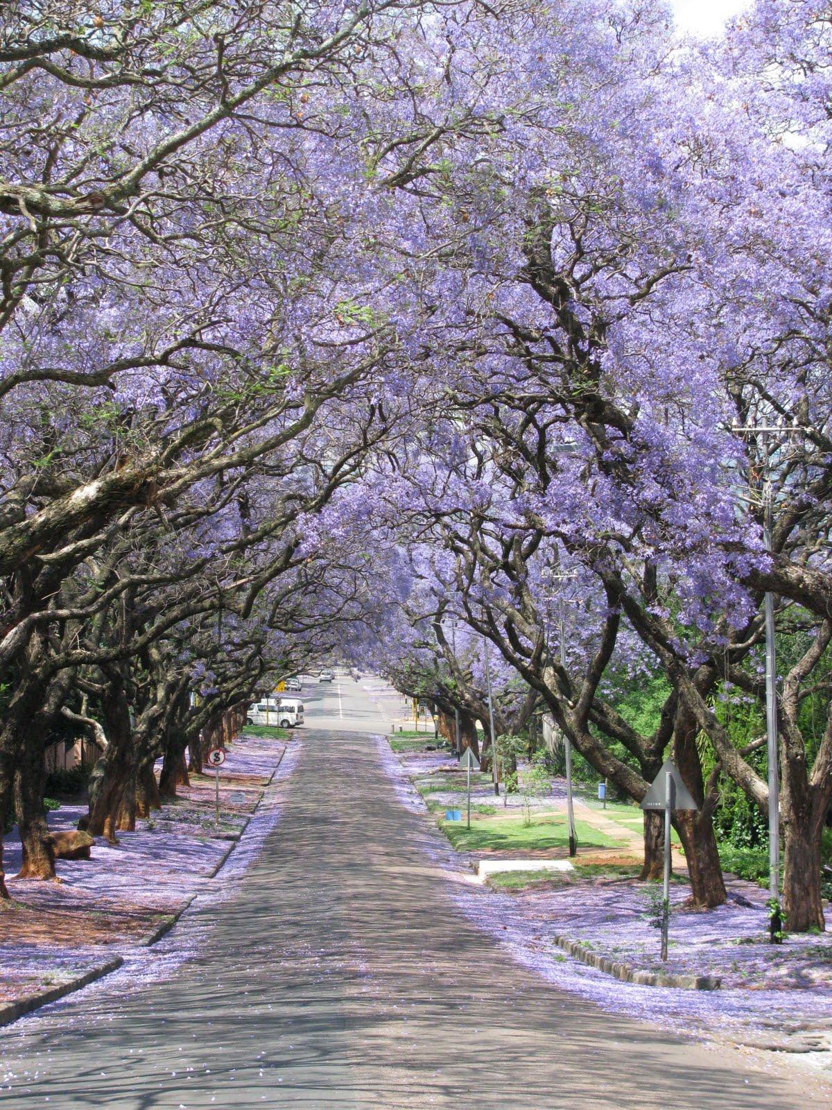 Bula Tjaart: Pretoria, Jacaranda city