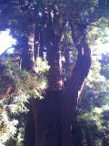 Redwood Meditation