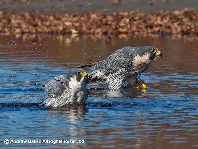 Peregrine Falcons by Andrew Baksh