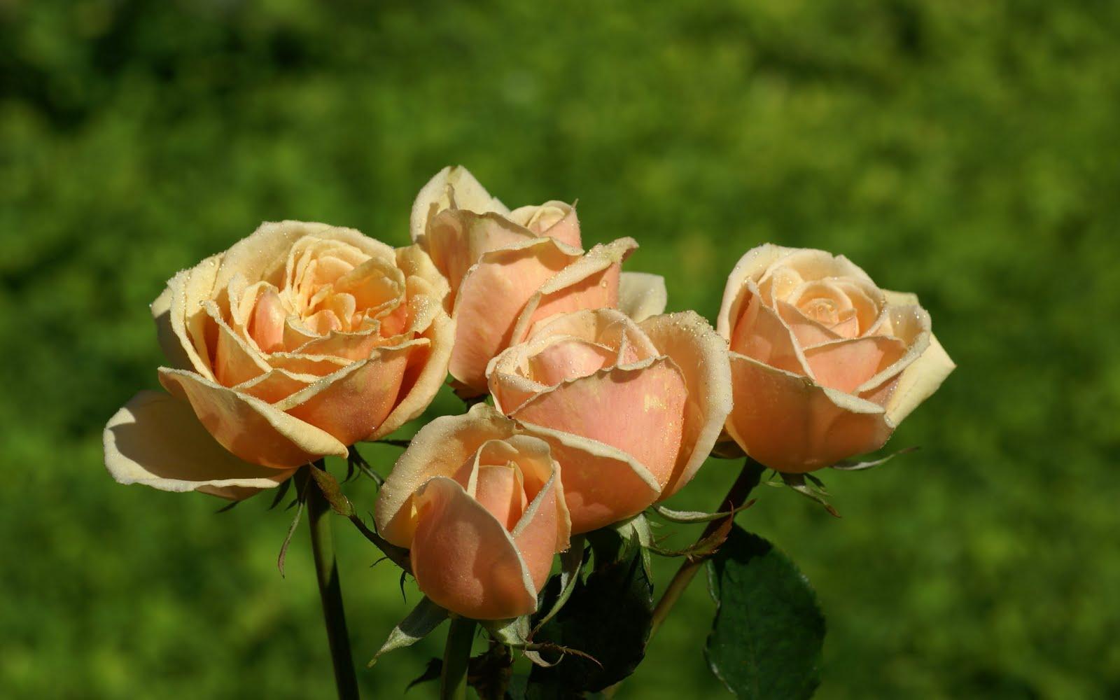 http://2.bp.blogspot.com/_BEyQraI-KQQ/SxSxAt7NhWI/AAAAAAAADts/RILPeKrjOfs/s1600/peach_roses-dsc01553.jpg