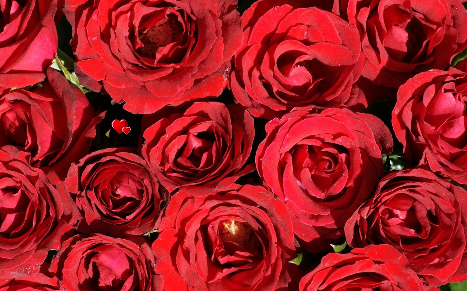 http://2.bp.blogspot.com/_BEyQraI-KQQ/SxSxTchaUfI/AAAAAAAADuM/MrWD9oz9qWI/s1600/beautiful-red-roses-dsc03595-ws.jpg