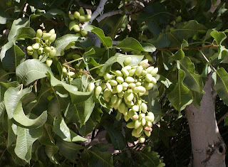 pistachio cluster on kerman tree