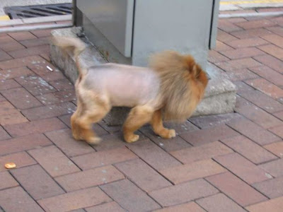 A cat on the street with lion hair cut