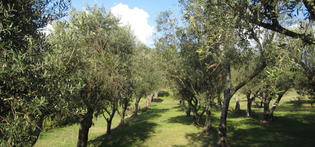 Barrancas de olivares 1