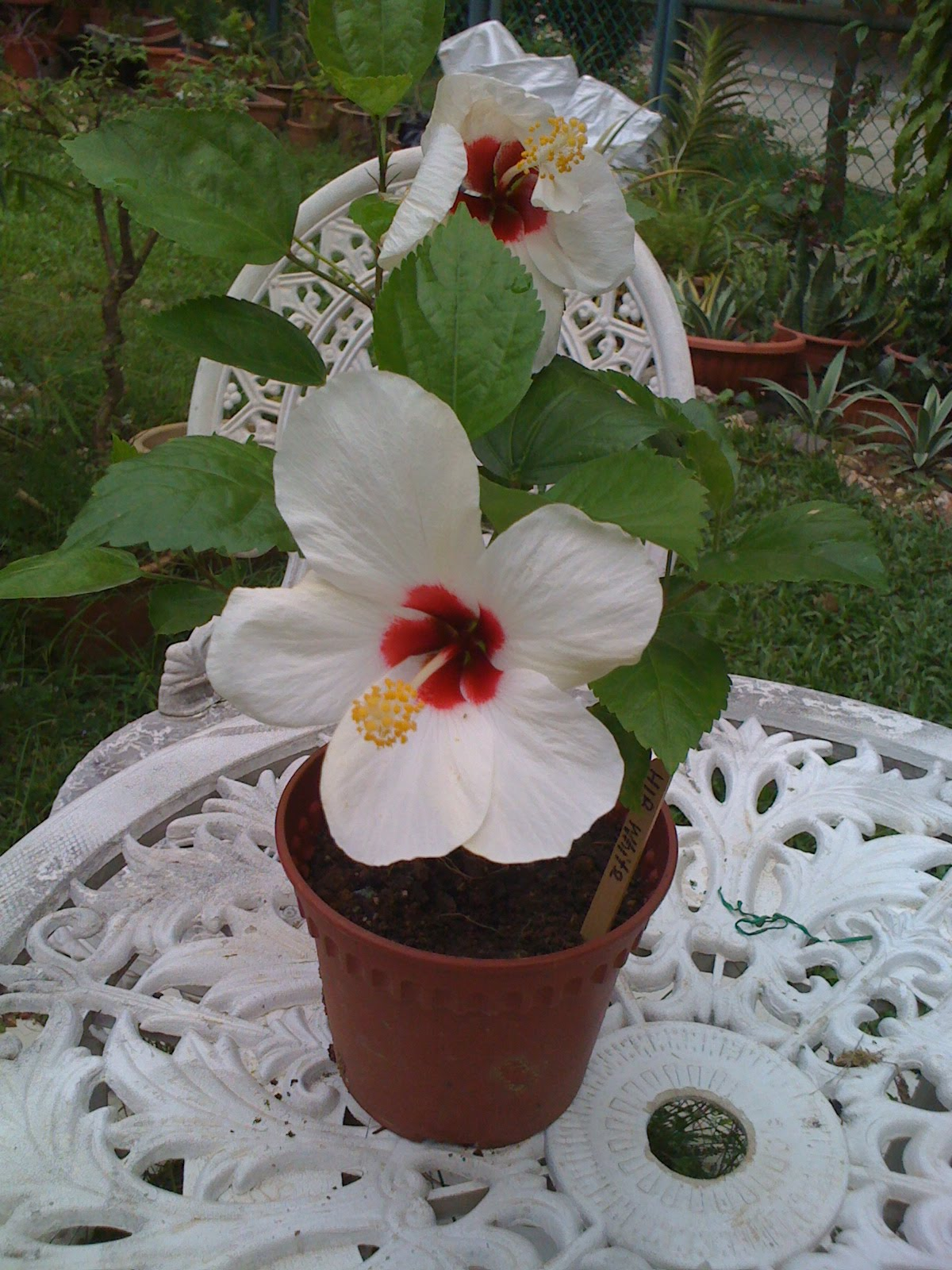 Gardening dream inspire white hibiscus flowers updating to my hibiscus cutting donor looks like many of the cuttings turned out to bloom the white flower with the blood red centre izmirmasajfo