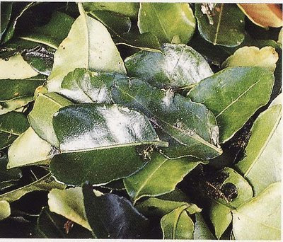 Daun Jeruk Purut (Kaffir Lime Leaves)