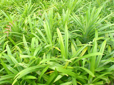Daun Pandan (Screwpine Leaves)