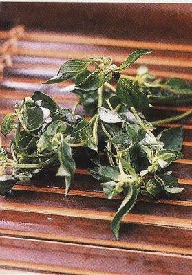 Kemangi (Lemon Basil)