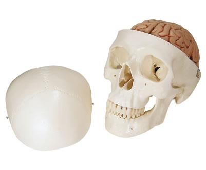 Huesos del craneo y cara - Anatomia Interactiva