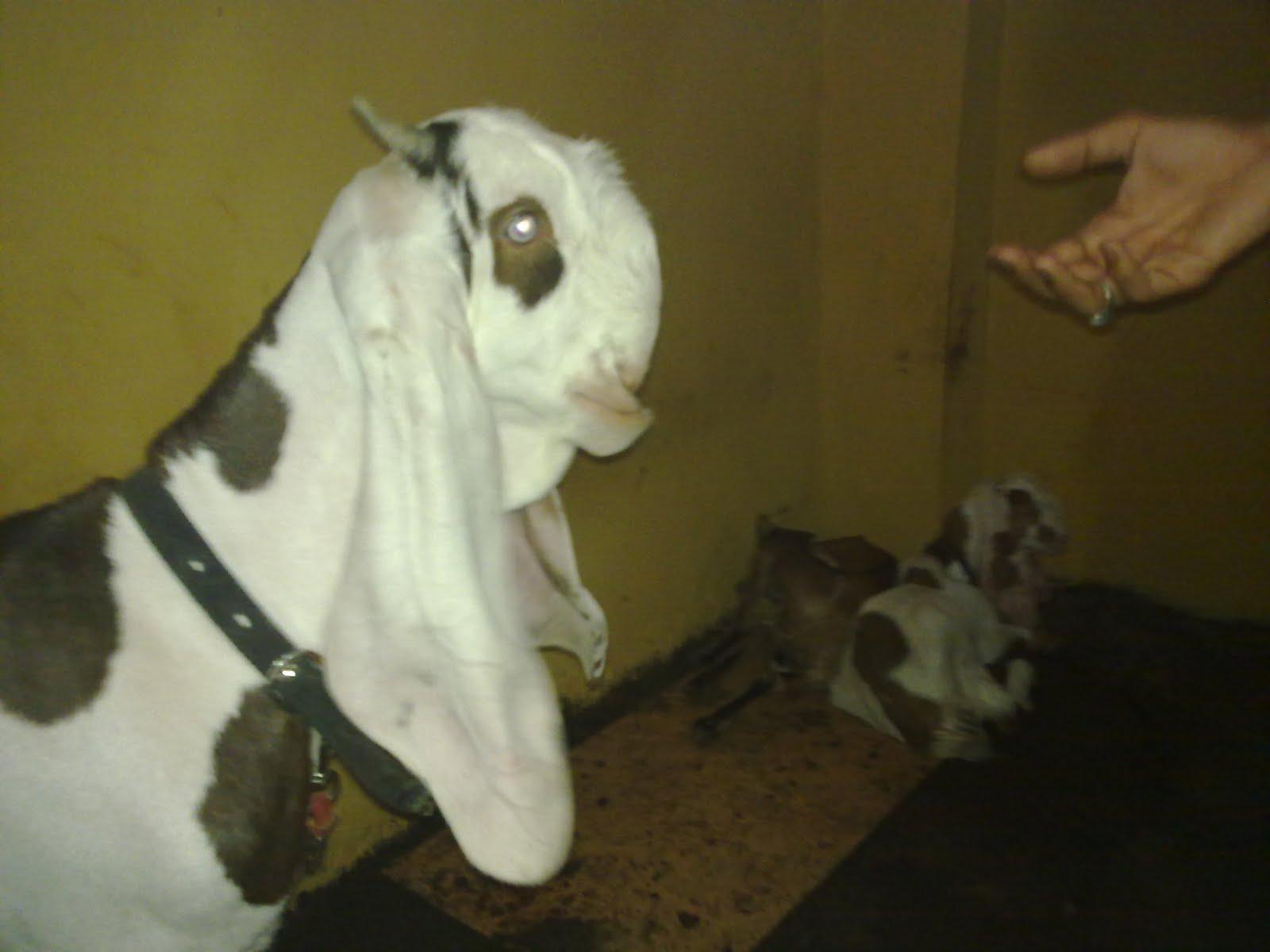 Hyder Goat Farm: Jamun...