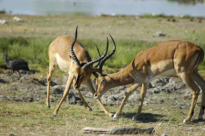Black-Faced Impala Etosha