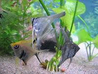 Produccion de peces ornamentales escalar o pez angel for Reproduccion de peces ornamentales