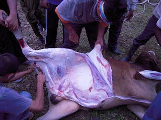 tanggalkan kulit lembu