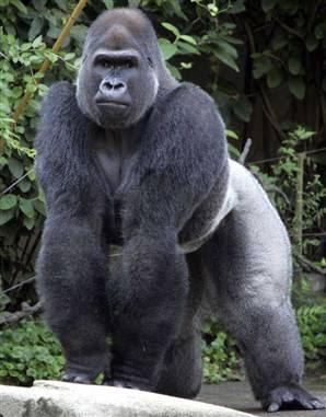 Jomo, a 14-year-old silverback gorilla, is on loan from the Toronto Zoo to the Cincinnati Zoo.