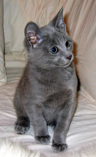 Cats and Kittens: Russian Blue