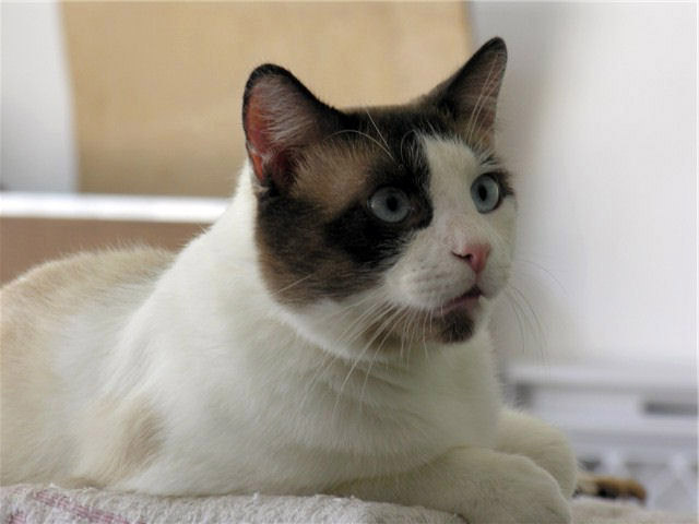 Pictures Of Cats And Kittens To Color. Snowshoe cats come in blue,