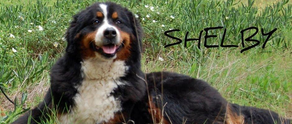 Shelby - Bouvier Bernois