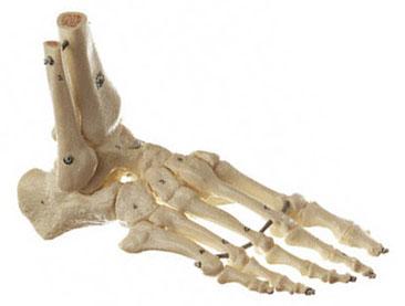 Human skeleton foot - photo#10