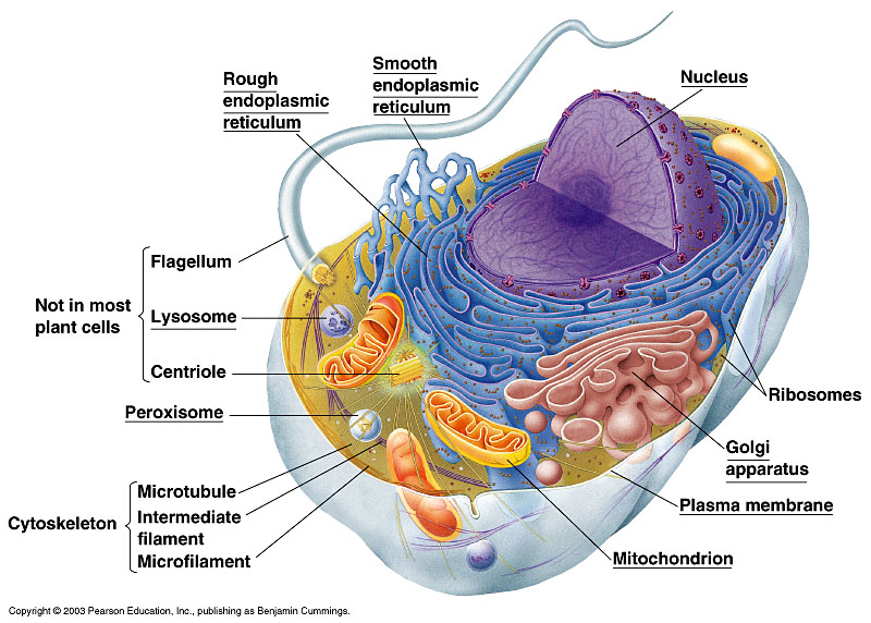 Eukaryotic cells – i.e. animal and plant cells.