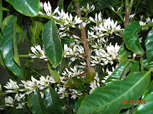 Flowering Coffee from Piliani Kope Farm