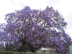 Jacaranda Season