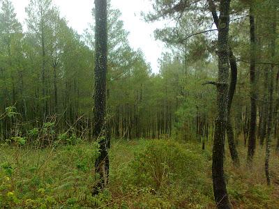 Hutan pinus di pos 1