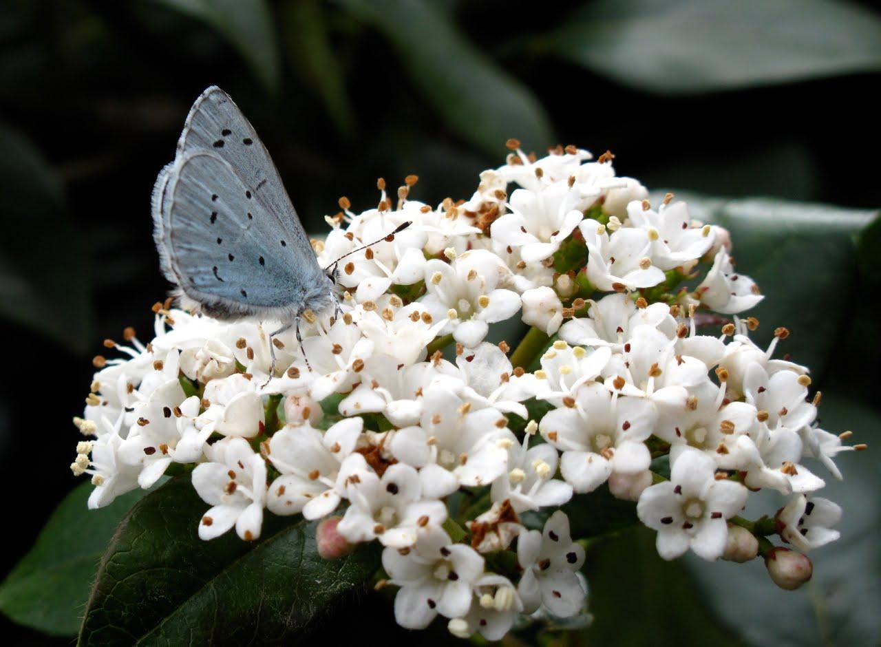 BugBlog Holly Blues