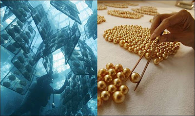 Rare golden pearls produced