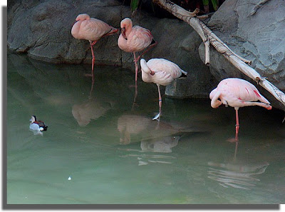 Flamingos on one foot